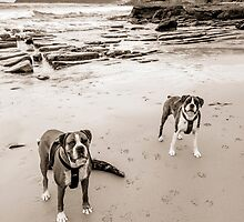 Boxer dogs by Shannon  Dand