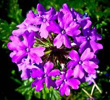 Dark Purple Phlox by andreajean
