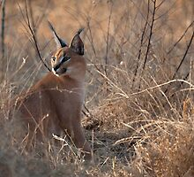 Caracal 3 by Marie Holding