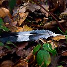 Feather by GlennRoger