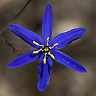 Tufted blue-lily (Thelionema caespitosum) by Ben Shaw