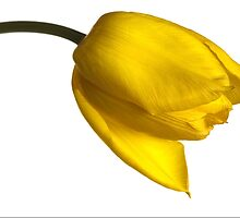 Tulipa 'Yellow Purissima' by John Edwards