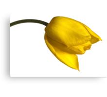 Tulipa 'Yellow Purissima' Canvas Print