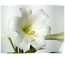 Easter Lilly Study Poster
