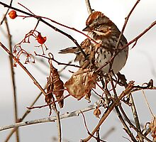 Song Sparrow & Red Berry by Ryan Houston
