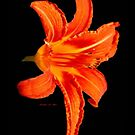 ORANGE DAY LILLY by Madeline M  Allen
