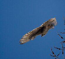 Hawk by MarcVDS