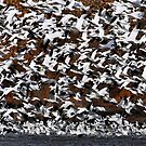 Snow Goose Static by FortPhoto