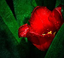Red Tulip Green Leaves by luckypixel