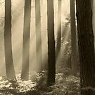 Forest Sunbeams by Justin Foulkes