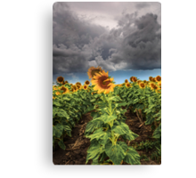 Sunflowers and Storms Darling Downs Qld Australia Canvas Print