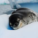 Sleepy Leopard Seal by Clare McClelland
