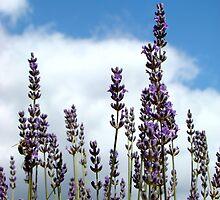 Lavender Glory by Coralie Plozza