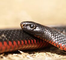 Red Bellied Black Snake - Macro by Steve Bullock