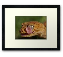Cleaning time - Rough Knob Tail Framed Print