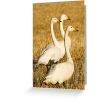 swans on stubble Greeting Card