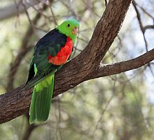 Hello, I'm a Red-winged Parrot, What are you? by Barrie Collins