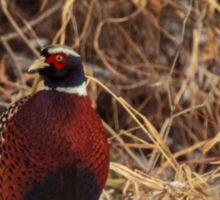 Winter Ring-Neck Pheasant Sticker