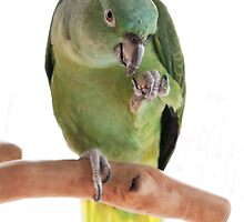 Parrot eating peanut by bjphotographs