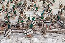 Drakes and Hens by PhotosByHealy