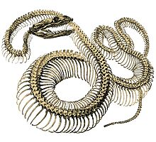 antique typographic vintage snake skeleton by surgedesigns