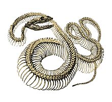 antique typographic vintage snake skeleton Photographic Print
