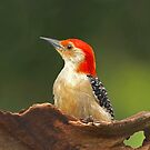 Red-bellied Woodpecker  by Janice Carter