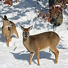 Deer in snow by timpollock