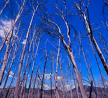 Reach for The Sky - Snowy Mountains National Park, NSW Australiaa by Philip Johnson