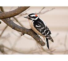 Male Downy Woodpecker Photographic Print