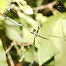 St Andrews Cross Spider by Cameron O'Neill