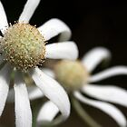 Flannel Flower by norgan