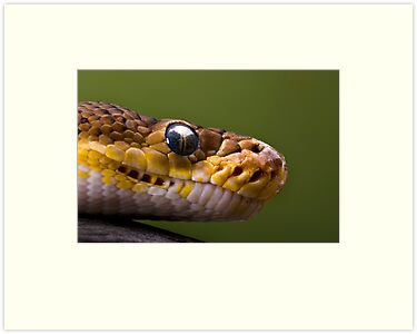 Timor Python by Frank Yuwono
