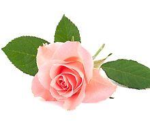 Pink rose by torishaa