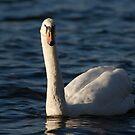 Swan by Andrew Dunwoody