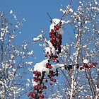 Apples and Snow by gypsykatz