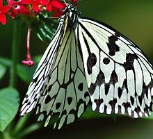 Wings of white by cherylc1