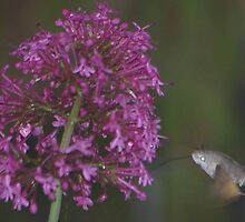 Hummingbird Hawkmoth by JohnT