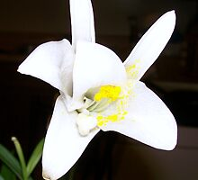 An Easter Lily, Dying by OceanUndertow