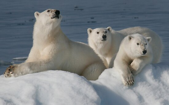 Bears On Ice by Steve Bulford