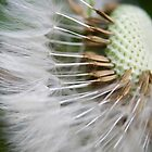 Dandelions seed by tamilian