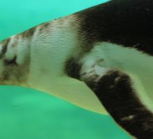 "The Penguin  (2) - Fantastic underwater photo of a penguin in ""flight"" Sticker"