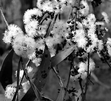 Snow gum flowers by ForestRain