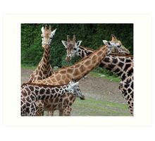 Four Giraffes - Lovely photo of a group of giraffes together Art Print