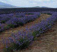 photoj Tas Lavender Farm by photoj