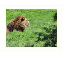 The Lying Lion - Lovely Lion Photo Print / Nature / Wildlife Print Art Print