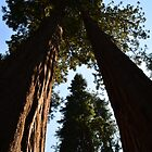 Giant Sequoia  trees in south California forest. by naturematters