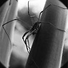 Itchy Bitsy Spider... by Zeanana