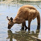 Cooling Off ! Western Grey Kangaroo. by Carole-Anne
