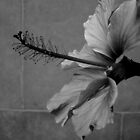 Pink Hibiscus B&amp;W by PPPhotoArt